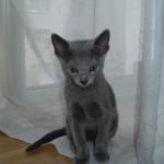 猫とおしゃれに暮らしたい!粗相が全然治らないロシアンブルーと暮らしてます