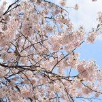弘前公園のさくらまつりに行ってきました!昼と夜の違い・おすすめ入り口は?