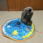 今週のルチヲ5/回転するおもちゃで遊ぶ猫