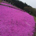 2016年木古内町の観光名所薬師山に咲く芝桜の開花状況