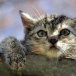 よく旅行に行く人は猫より犬を飼え!ロシアンブルーをペットホテルに預けた結果・・・