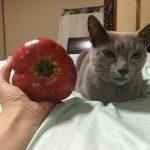 今週のルチヲ42/トマトには興味がない猫