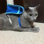 今週のルチヲ62/初めてランドセルをもらった猫