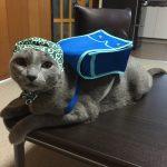 今週のルチヲ65/ランドセルが大好きな猫