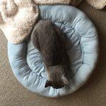 今週のルチヲ68/ニトリのひんやりペットベッドに寝る猫