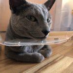 今週のルチヲ79/初めてのカラーをつけた猫